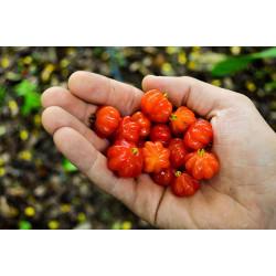 Pitanga - 2 semillas