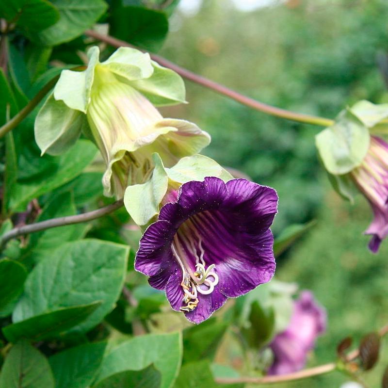 Cobaea scandens - 1 planta