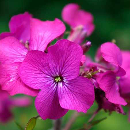 Lunaria planta