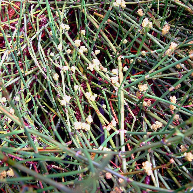 Efedra sinica semillas