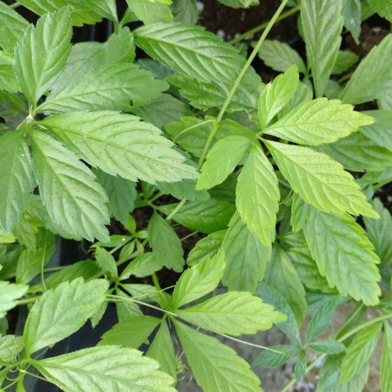 Jiaogulan semillas