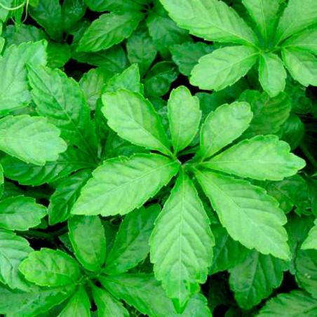 Jiaogulan de 7 hojas semillas
