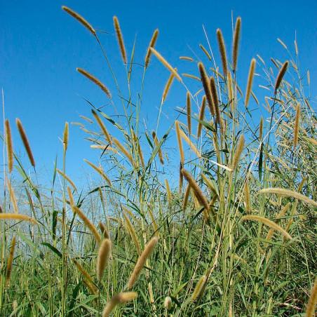 semillas de pennisetum purpureum