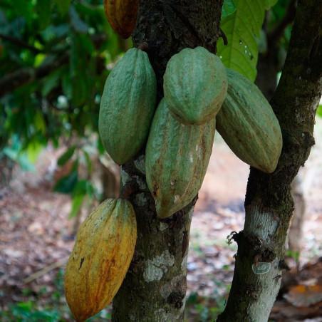 Cacao planta comprar