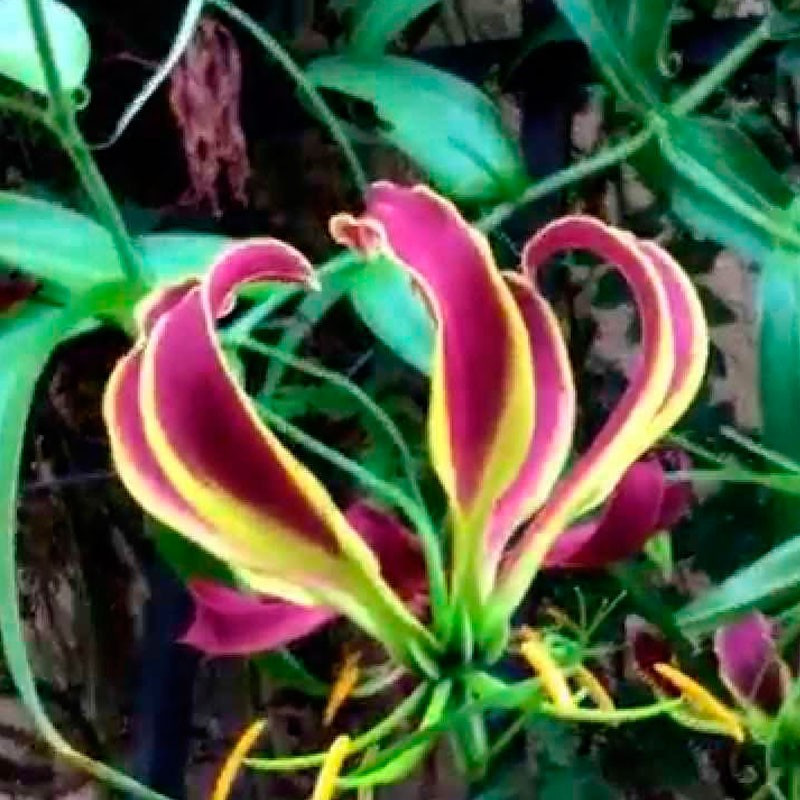 Gloriosa carsonii