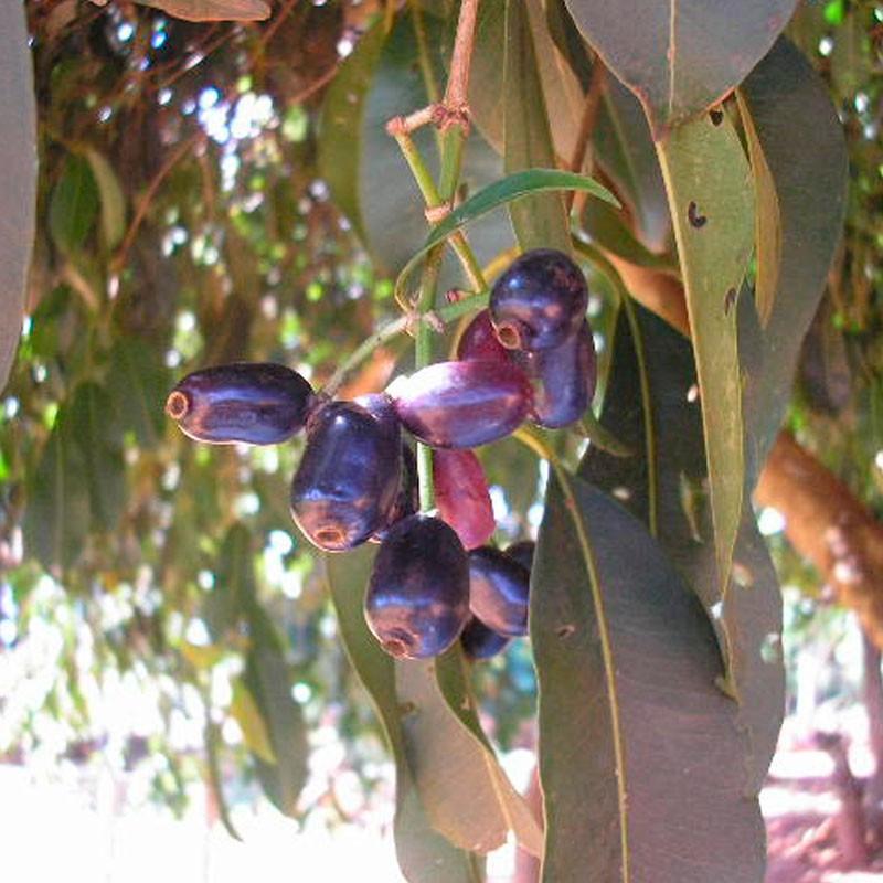 Ciruela de Java planta
