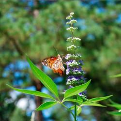 comprar planta vitex agnus castus