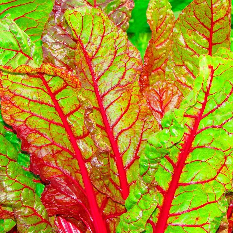 Acelga tallo rojo semillas