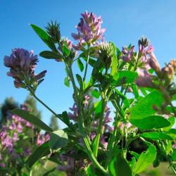 Alfalfa semillas comprar