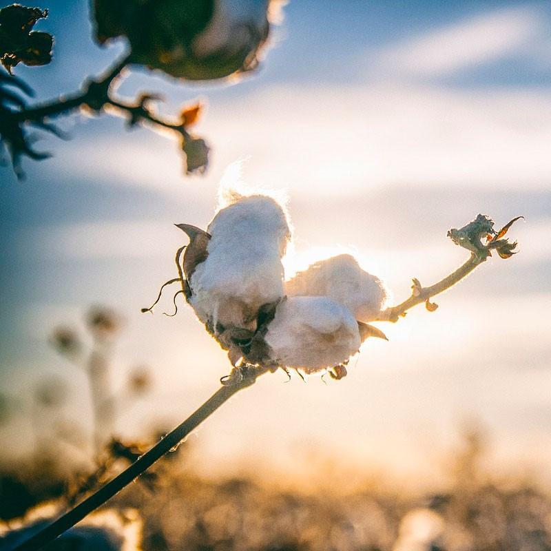Algodón semillas