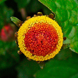 acmella oleracea semillas