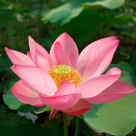 nelumbo nucifera rosa semillas