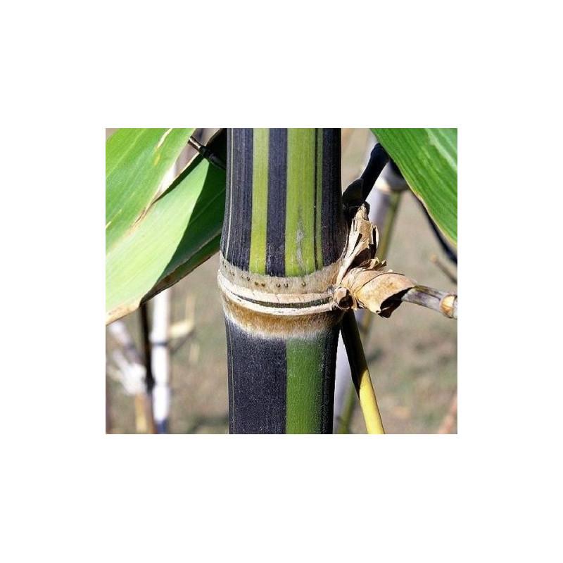 Bambú gigante