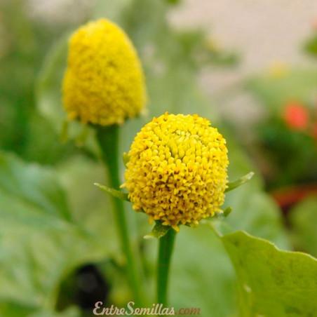 acmella oleracea amarilla semillas