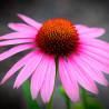 Equinácea angustifolia - Sobre 50 semillas