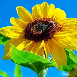 Girasol amarillo semillas