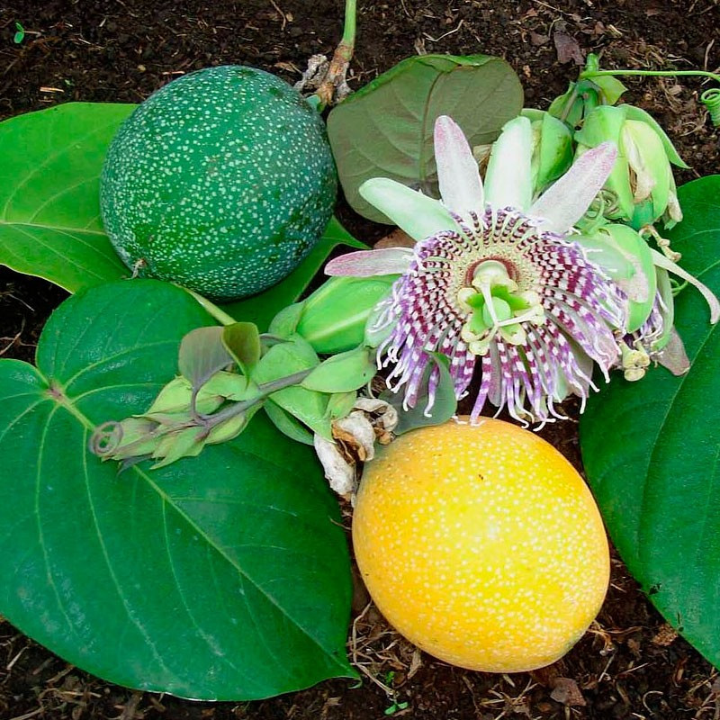 passiflora ligularis semillas