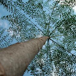Moringa drouhardii semillas