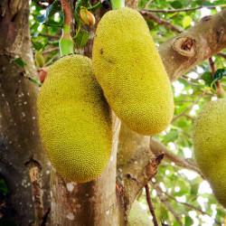 jackfruit comprar planta