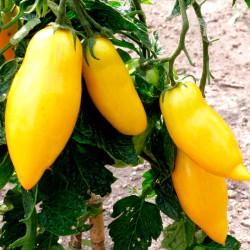 Tomate Banana Legs amarillo