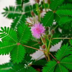 Mimosa pudica comprar semillas