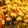 Arce azucarero / Acer saccharum - Sobre 8 semillas