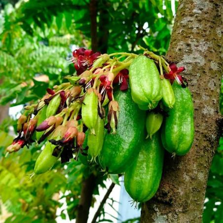Bilimbi averrhoa planta comprar