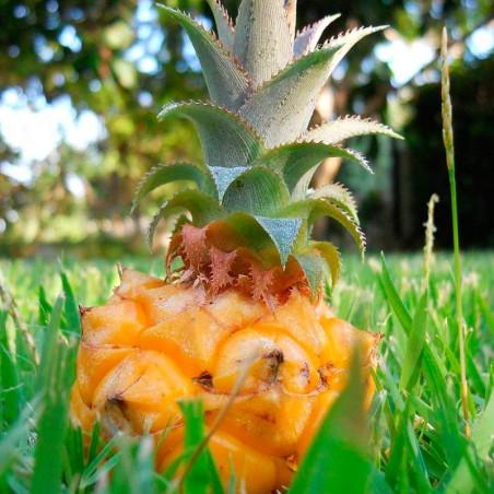 Planta Piña tropical