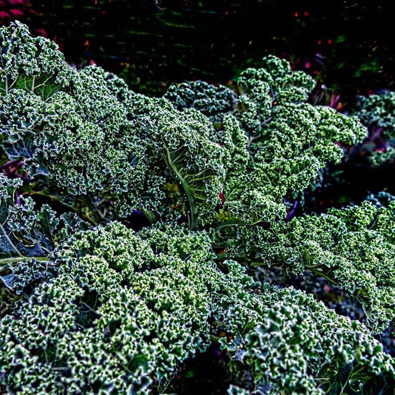 Kale Black Tuscany semillas