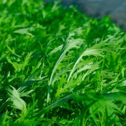 Mizuna semillas