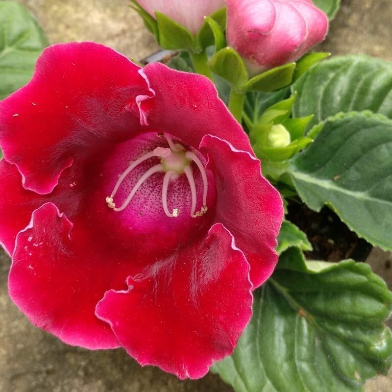 Gloxinia flor blanca - 1 planta
