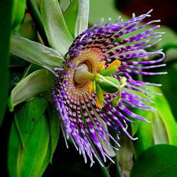 Maracuyá semillas passiflora edulis