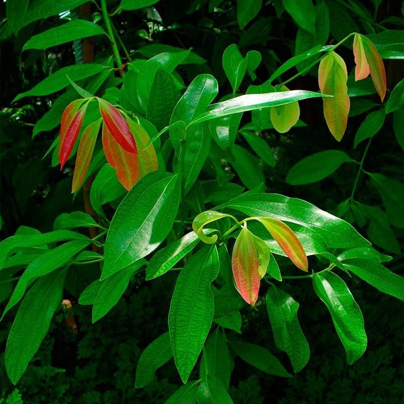 Semillas De Arbol De Canela Cinnamomun Zeylanicum Verum Canelo