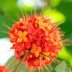 Ashoka comprar planta saraca indica