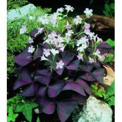 Oxalis púrpura