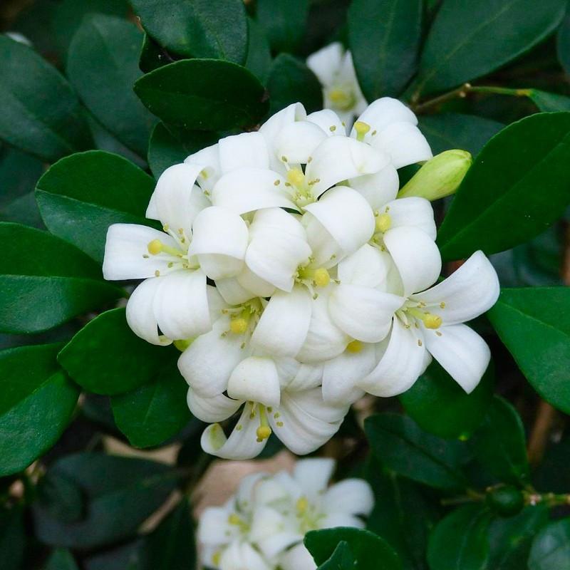Murraya paniculata planta