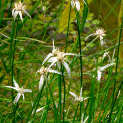 White star grass planta
