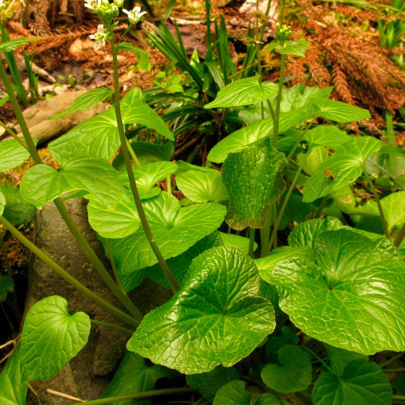 Wasabi comprar planta