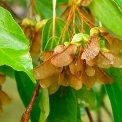 Acer buergerianum semillas