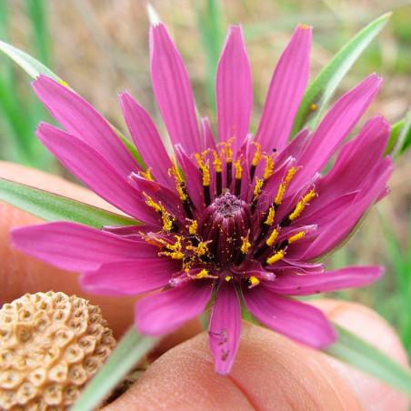Salsifí semillas tragopogon porrifolius