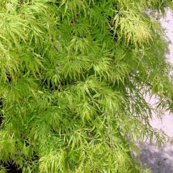 Arce japonés Dissectum semillas