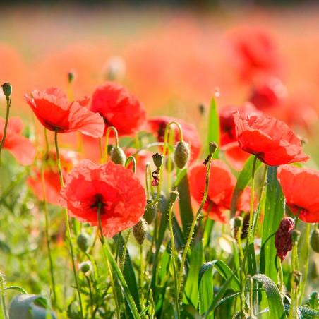 Amapola Roja semillas