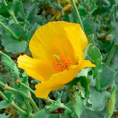 Amapola amarilla de mar glaucium flavum semillas