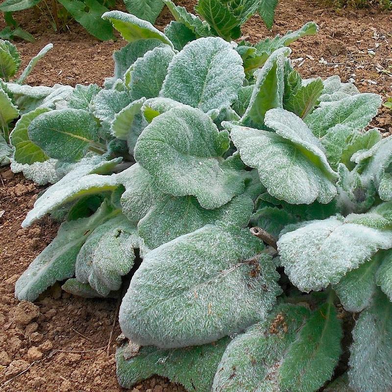 Salvia blanca argentea semillas