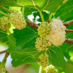 Morera blanca semillas