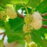 Morera blanca - Sobre 100 semillas