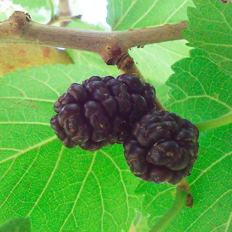 Morus nigra semillas morera negra