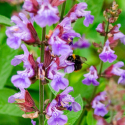 Salvia officinalis semillas