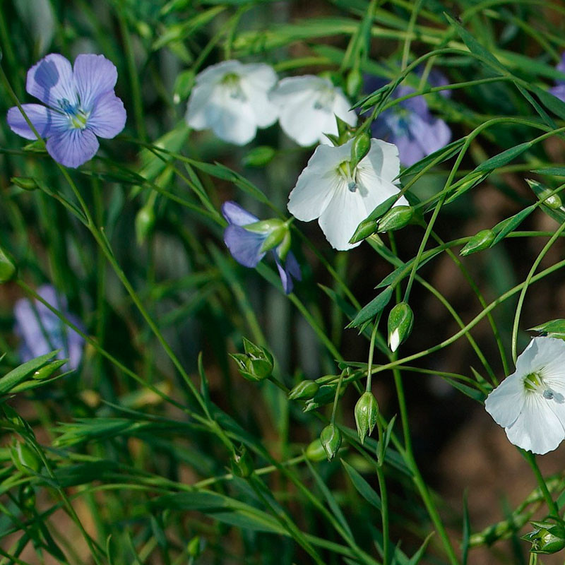 Lino semillas para sembrar