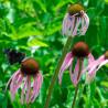 Equinácea pálida - Sobre 50 semillas